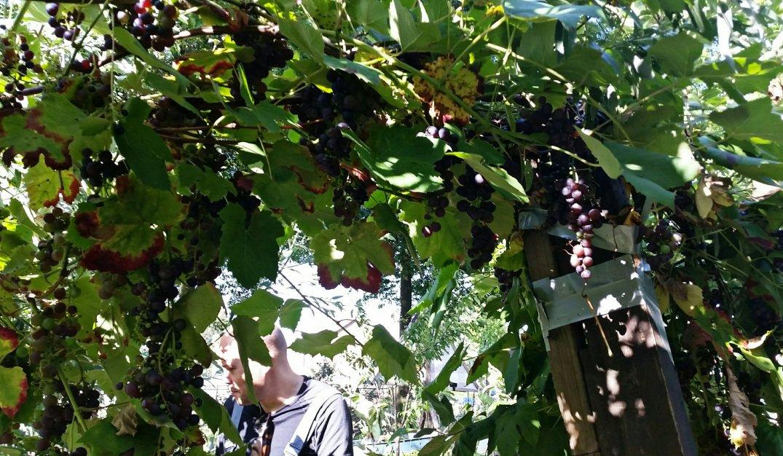 Many grapes