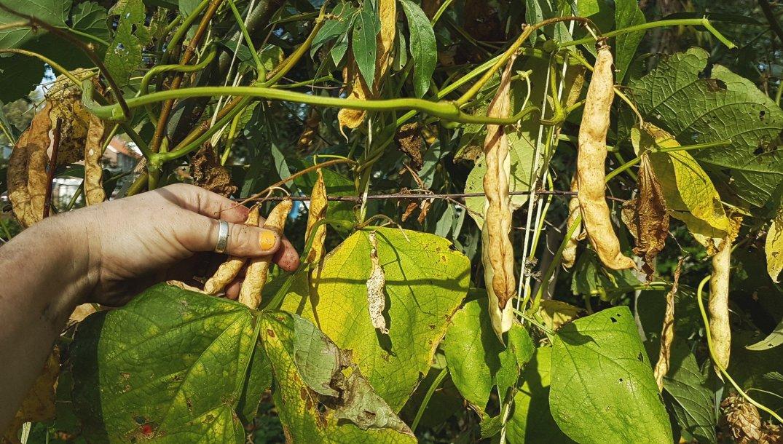 Bonen beans