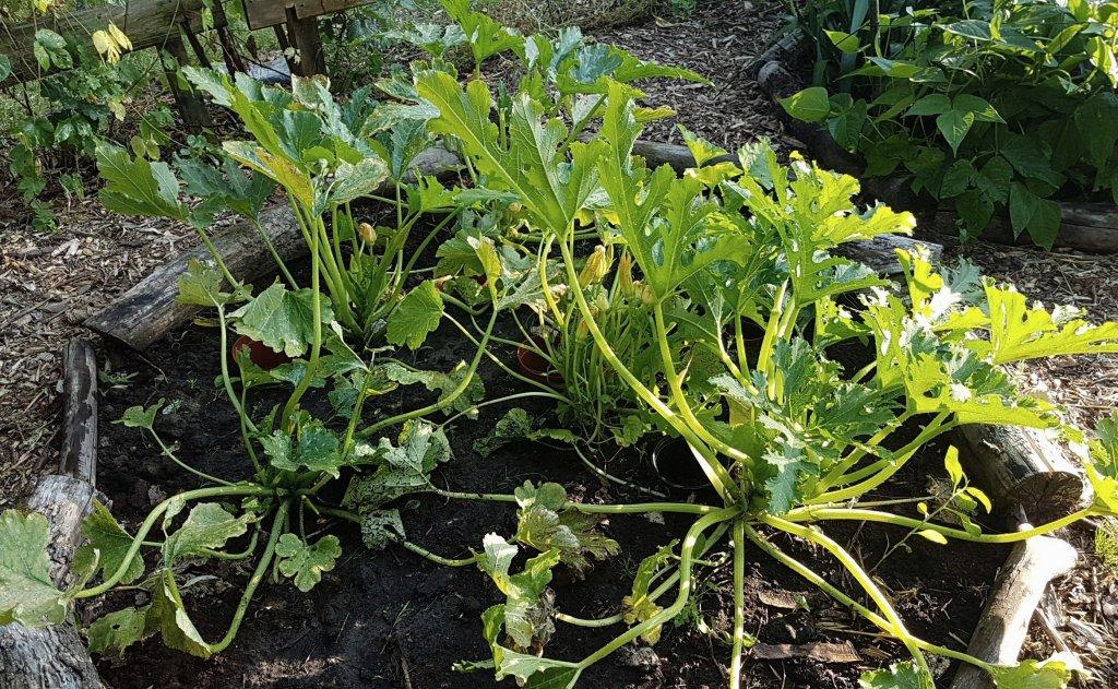 Courgette planten