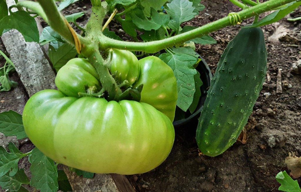 Vlees tomaat