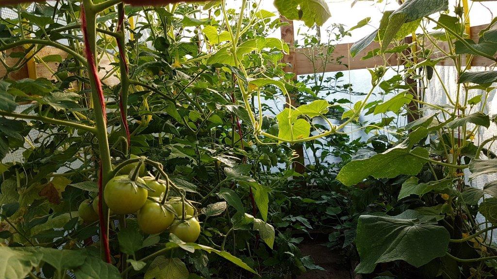 Tomaten en komkommer in kas